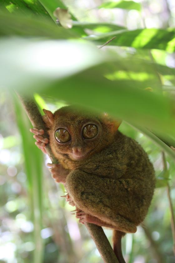 손바닥만 한 크기의 원숭이 '타르시어'.[사진 필리핀항공]