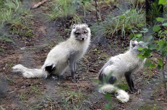 보호소에서 가장 인기 있는 북극 여우. 여름철에는 거뭇거뭇하지만 눈이 내리는 겨울철에는 하얀 털로 뒤덮인다.