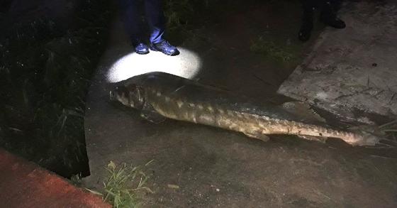 지난 10일 오후 10시 35분쯤 대전의 대전천에서 철갑상어가 발견돼 지자체가 경위 파악을 하고 있다. 사진은 전날 촬영된 죽은 철갑상어. [사진 대전 동구청]