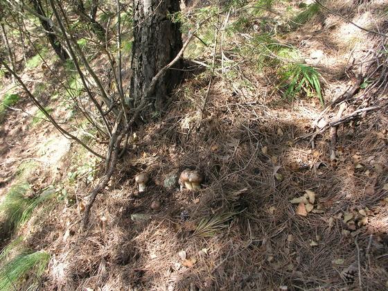 2005년 9월 하순 송이 산에 들어갔을 때 본 줄송이. 한 곳에서 송이가 줄지어 나온 것을 송이꾼들은 줄송이라고 불렀다.