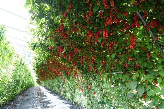 한창 익어가는 오미자 열매는 10일부터 수확을 시작한다. '봉화소개골 오미자농원' 블로그에서 예약판매와 직접 따서 설탕절임을 만들어가는 수확체험 신청을 받는다.