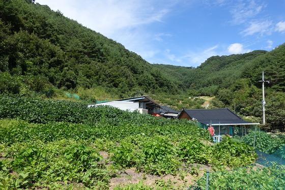 '오미자농원' 살림집과 3000여 평의 꾸지뽕밭(사진 가운데). 왼쪽 끝으로는 오미자 밭이 이어진다.