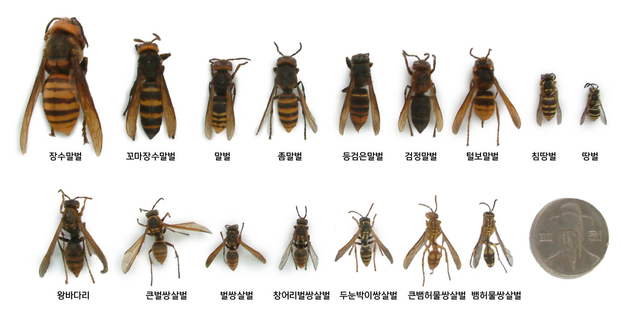 장수말벌(윗줄 맨 왼쪽)은 다른 꿀벌이나 말벌보다 큰 종류다. [사진 국립공원관리공단}