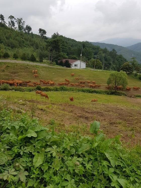 해발 600~850m 산악 구릉 지대에 조성된 설성목장에 방목된 한우가 풀을 뜯고 있다. 최현주 기자