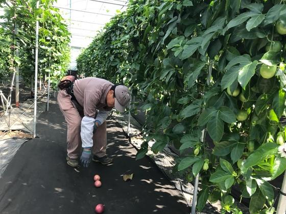 아열대과일 패션프루트는 다익으면 저절로 땅으로 떨어져 수확이 쉽다. 최충일 기자