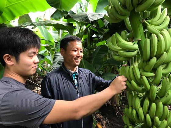 아열대작물 바나나 상태를 확인 중인 김용관씨(왼쪽)와 김성철 농업연구관. 최충일 기자