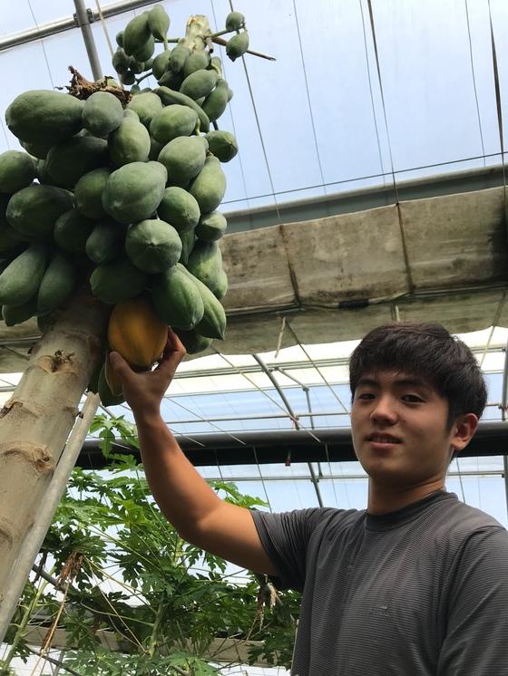 아열대과일 파파야를 수확중인 김용관씨. 왼쪽의 노란게 다익은 것으로 주로 과일로 먹고 오른쪽의 덜익은 초록색 열매는 채소로 먹는다. 최충일 기자