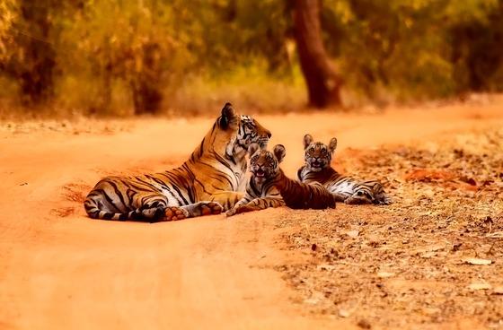 인도의 밀림에는 불과 수십년 전까지만 해도 호랑이들이 꽤 많이 서식했다. 그러니 싯다르타 당시에는 밀림 속 수행이 매우 위험한 일이기도 했다. 그러나 싯다르타는 아랑곳하지 않았다.