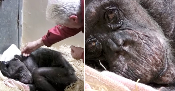 죽기 전 옛 친구를 만난 '59살 침팬지' 놀라운 반응(영상)