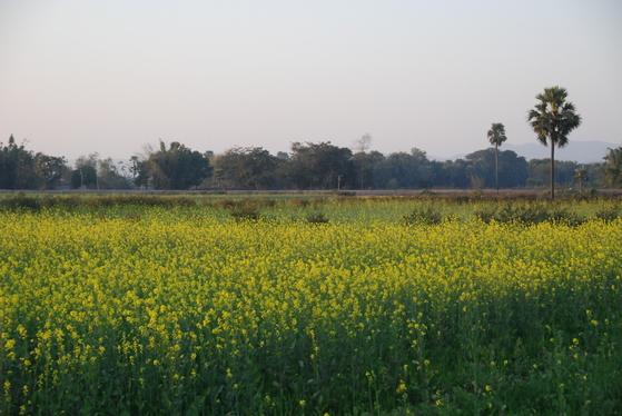 인도에는 유채밭이 많다. 인도 사람들이 유채 기름을 즐겨 사용하기 때문이다. 유채꽃이 만발할 때는 들녘이 무척 아름답다. 백성호 기자