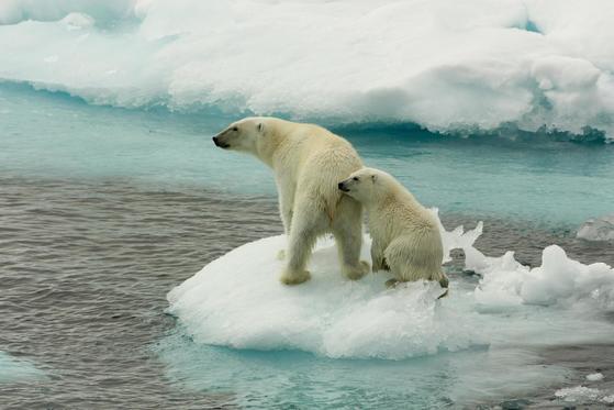 삶의 터전을 잃어가는 북극곰 엄마와 아기. 지구 기온이 높아지면서 북극의 빙하가 녹고 있다. [그린피스]