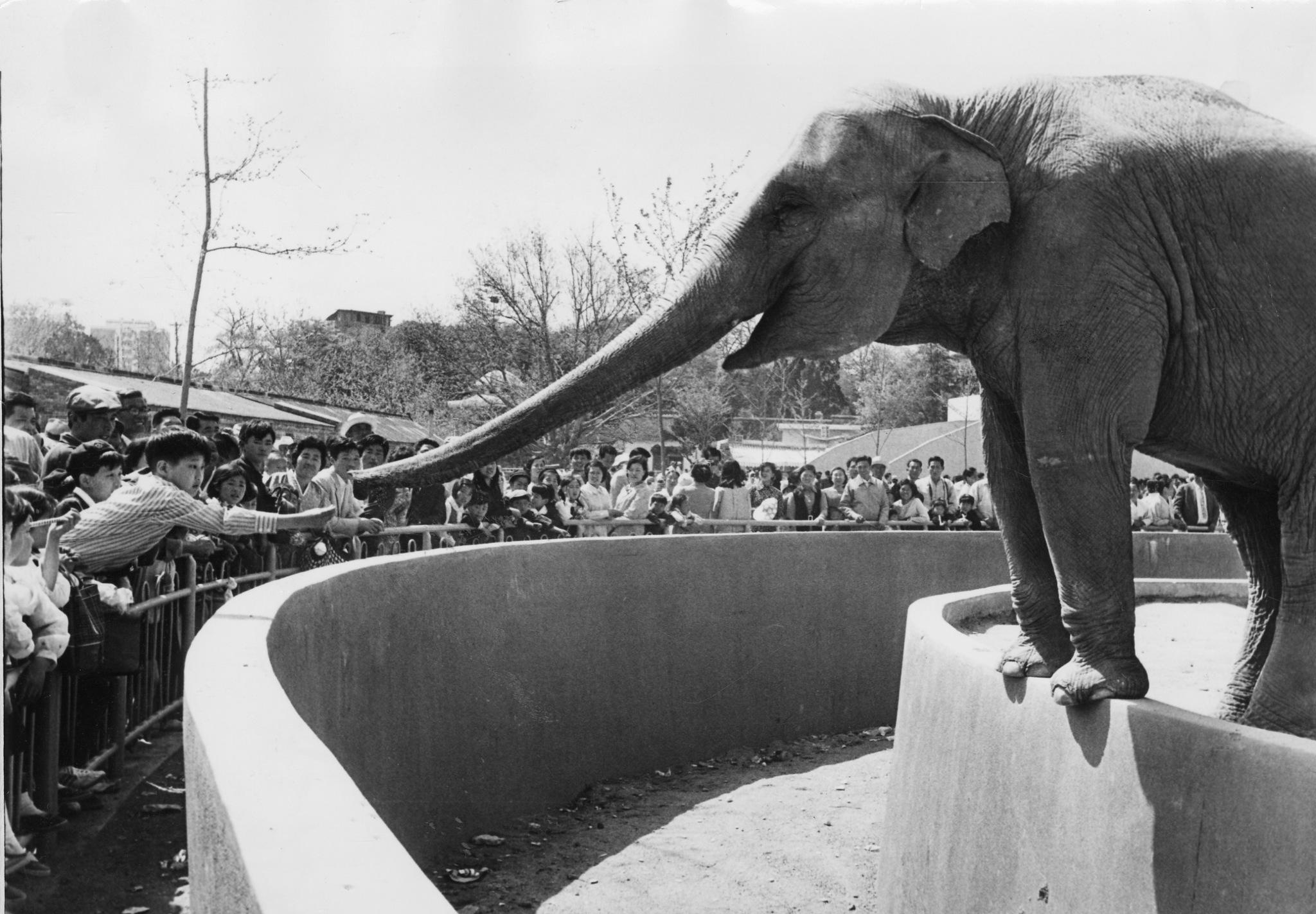 어린이날 창경원 동물원에서 코끼리에게 먹이를 주고 있는 어린이의 모습이다. [중앙토포]