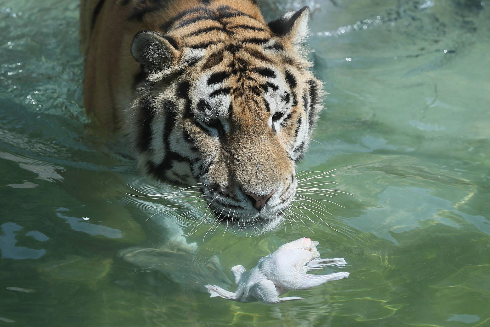 말복인 지난 8월 11일 오후 과천 서울동물원에서 시베리아호랑이가 생닭을 먹으려고 하고 있다. [연합뉴스 ]