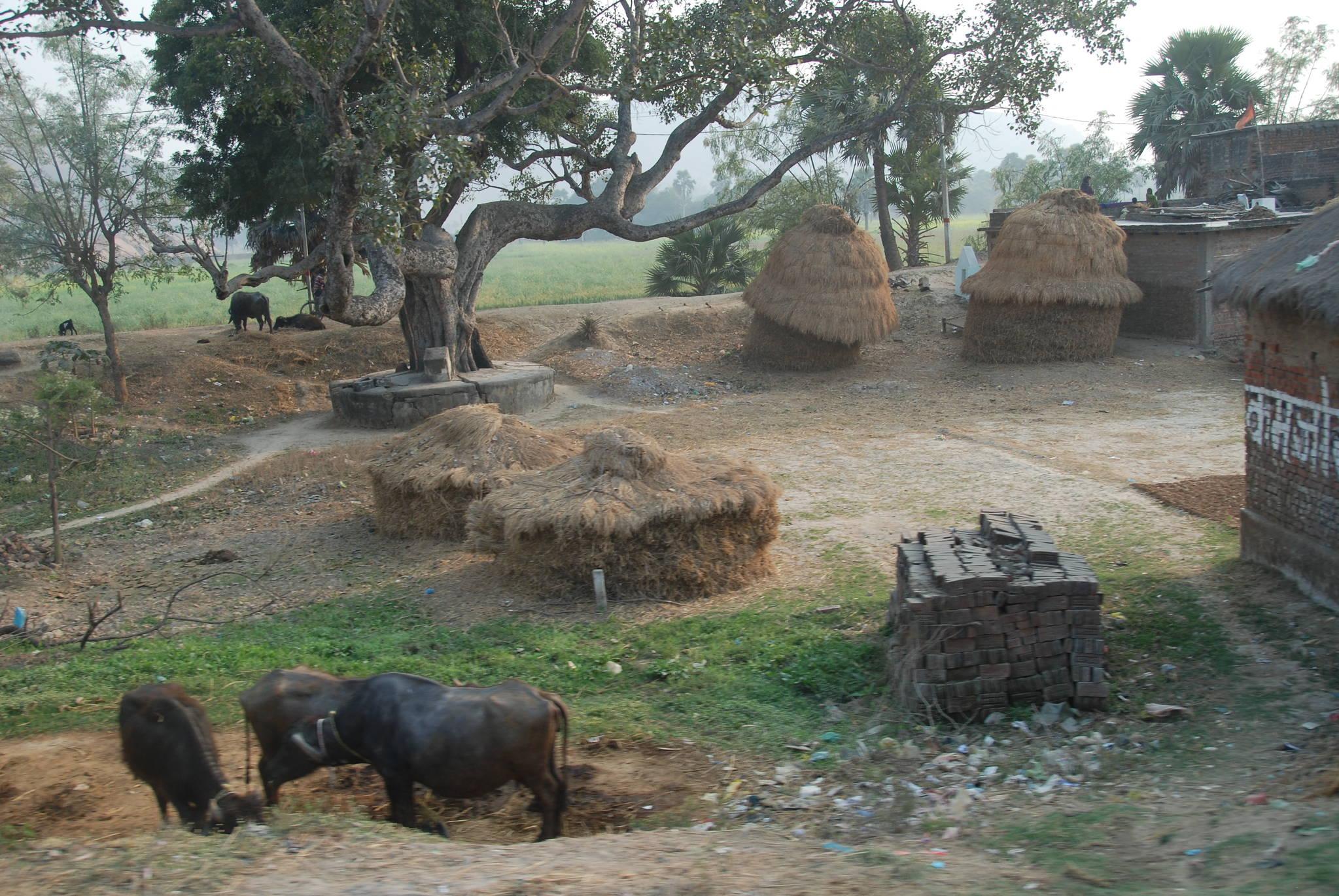 네란자라 강으로 가는 길에서 만난 인도의 시골 농가. 소를 풀어놓은 채 키우고 있다. 백성호 기자