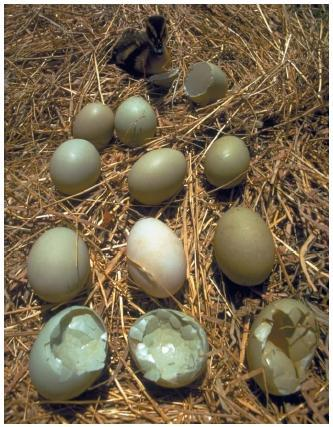 DDT에 노출된 새들이 낳은 알. 껩데기가 얇아 정상적인 번식이 불가능해졌다.