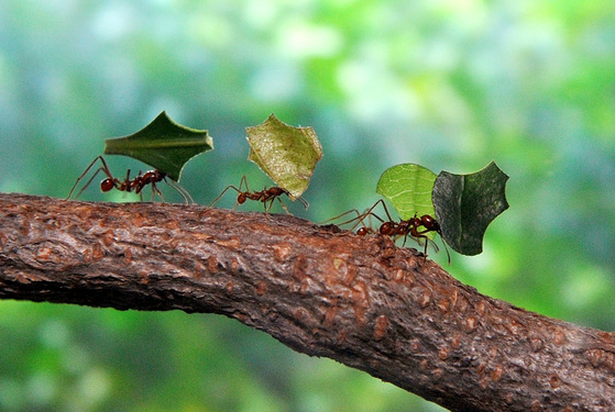 개미는 늘 단체로 움직인다. 제 몸집보다 수백배 큰 먹이도 팀웍을 발휘해 함께 옮길 수 있다. [중앙일보]