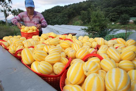 경북 성주군 백진면 한 시설하우스에서 농민 한모(70)씨가 수확한 참외를 경운기에 싣고 있다. 프리랜서 공정식