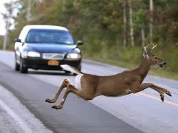 운전 중에 야생동물이 튀어나올 경우 급하게 핸들을 돌리거나 상향등을 사용하면 안된다.[중앙포토]