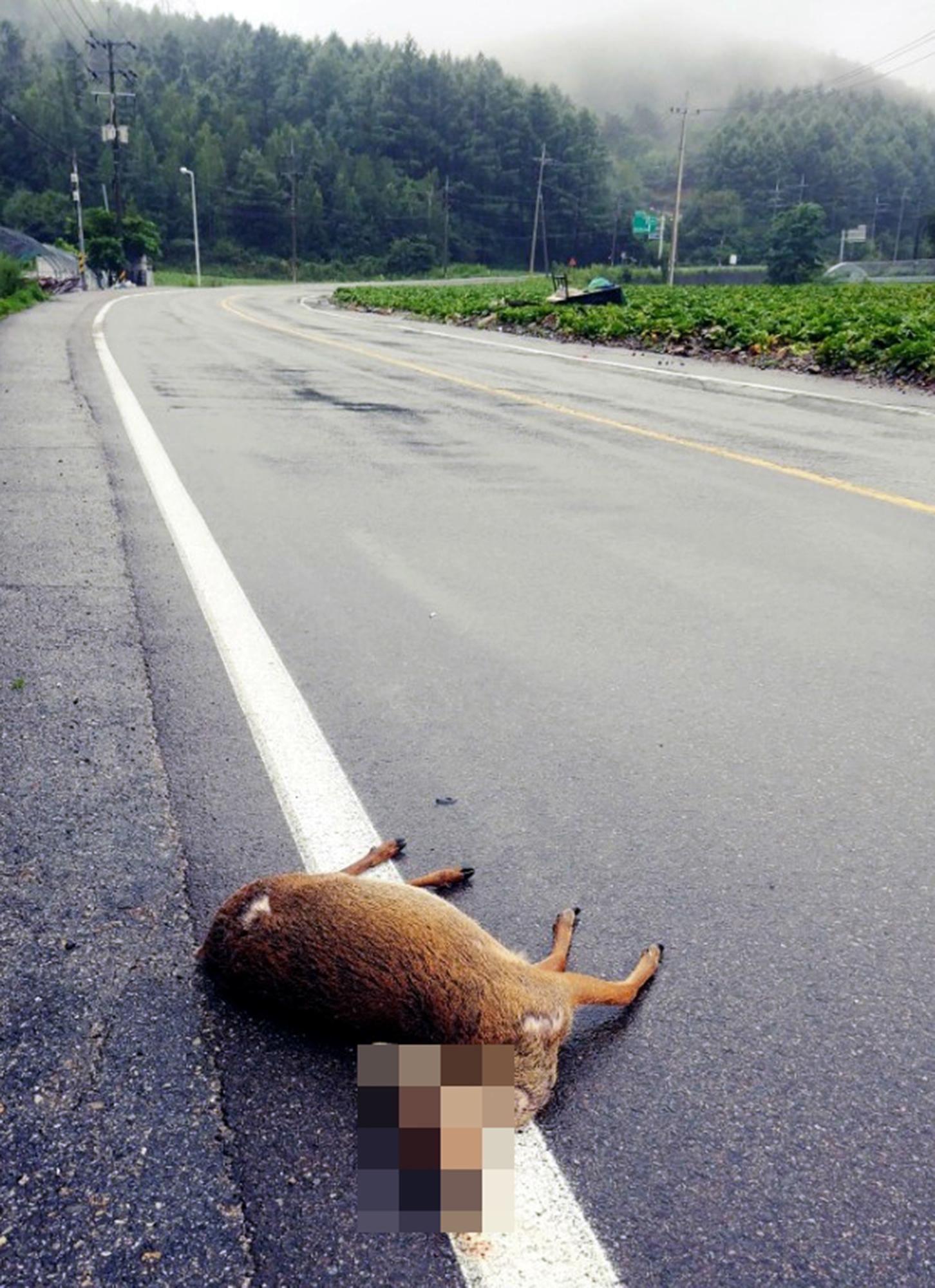 지난 7월 29일 강원 태백시 창죽동 국도 35호선 도로에서 고라니 한 마리가 로드킬 당한 채 발견됐다.[연합뉴스]
