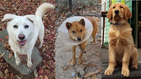 귀여워 보여도 멧돼지를 쫓아내는 용맹스런 우리 동네 개들이다. 가운데 개는 최근 눈 수술을 받았다. 왼쪽부터 풍산개, '믹스견', 골든 리트리버.
