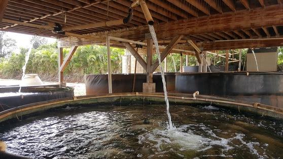 쿠니아 컨트리 팜에서는 카후마나 농장보다 더 대규모로 아쿠아포닉스 농법을 활용하고 있다. 대형 물고기 수조 안에 민물고기인 틸라피아가 가득 들어있다. 안혜리 기자