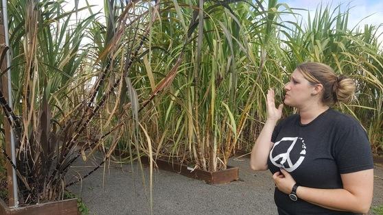 럼을 만드는 각기 다른 종의 사탕수수를 설명하고 있는 브룩. 안혜리 기자