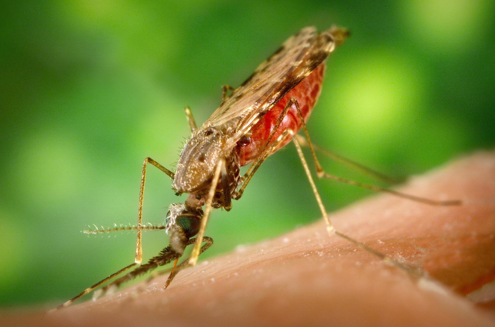 말라리아를 옮기는 모기 [중앙포토]