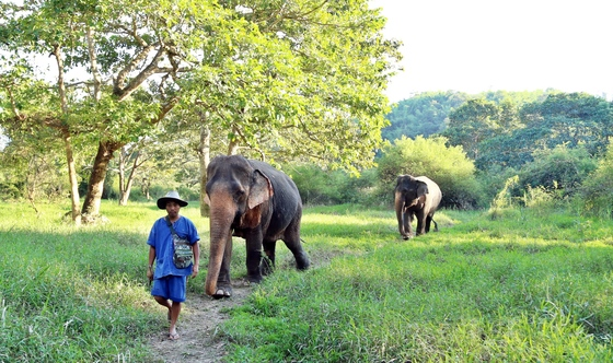 GTAEF와 파트너십을 맺고 있는 호텔에는 코끼리의 산책 루트를 따라 함께 정글을 걸을 수 있는 액티비티가 있다.