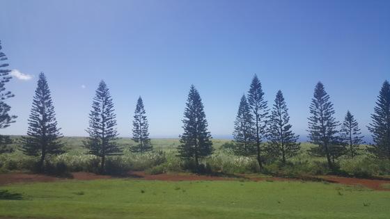대목장 시절 조지 먼로가 수입한 쿡 아일랜드 소나무가 라나이의 인상적인 풍경을 만든다. 안혜리 기자