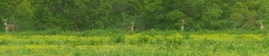 길에서 마주친 사슴들. 라나이에는 사람보다 사슴이 열배쯤 많다. 안혜리 기자
