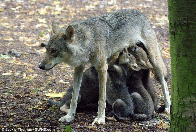 늑대 어미와 새끼 [중앙포토]