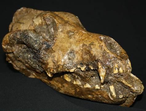 매머드 뼈를 물고 있는 개 두개골 화석 [중앙포토]