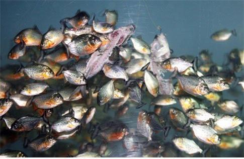 피라냐는 다른 물고기를 쫓아갈 때 부레을 진동시켜 소리를 낸다. [증앙포토]