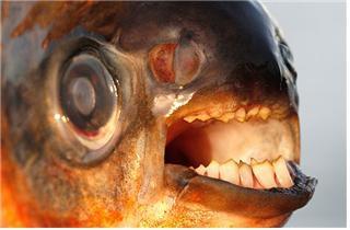 사람 비슷한 이빨을 가진 파쿠 [중앙포토]