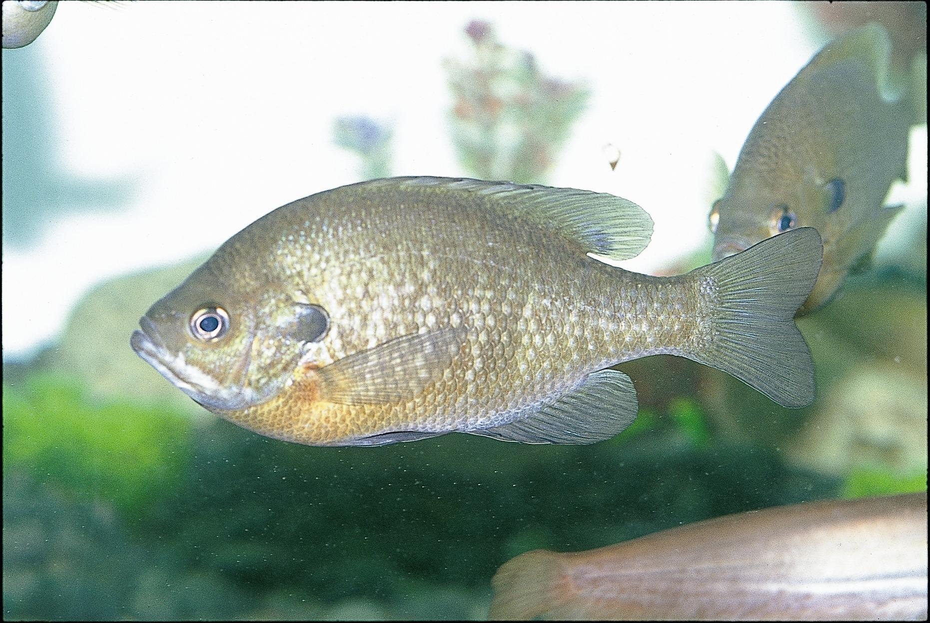 외래종 물고기인 블루길 [중앙포토]