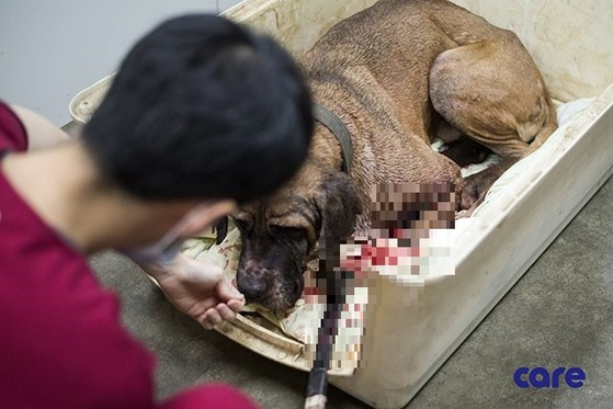 1년 전 투견장에서 구출된 뒤 수의병원에서 치료를 받고 있는 베토벤 모습. [사진 케어]