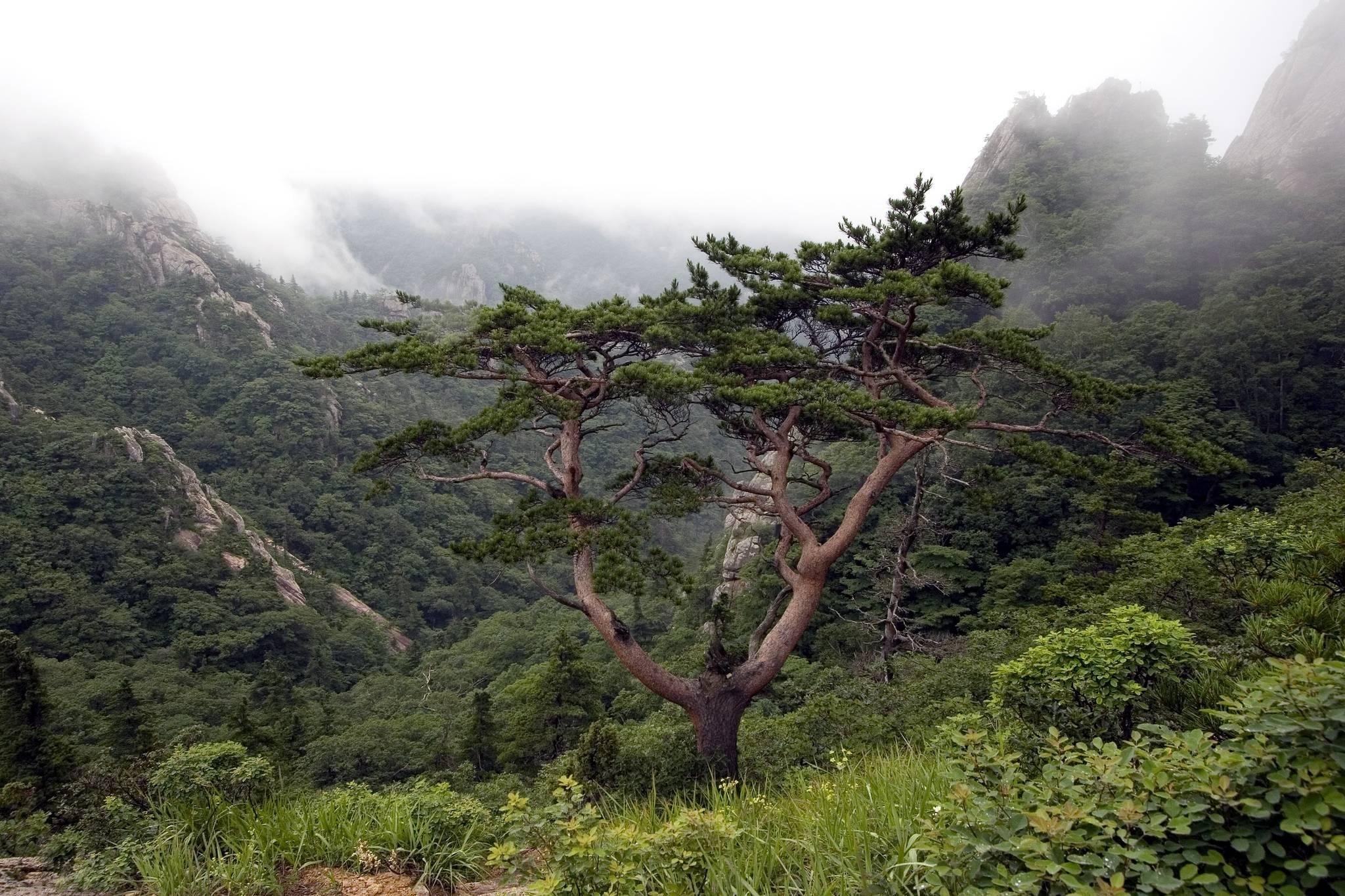 설악산 대청봉에서 저항령 구간 마루금 상의 소나무 거목 [사진 한국산림생태연구소 조현제 소장]