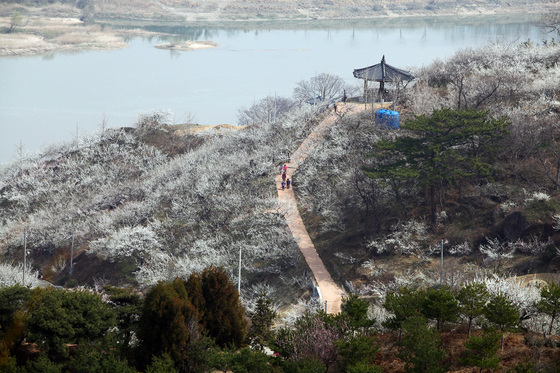 산수유 축제와 함께 대표적인 봄꽃 축제로 꼽히는 전남 광양의 매화축제장 전경. [사진 광양시]