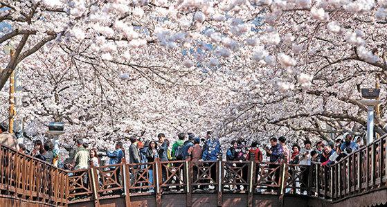 남녘에서 봄소식이 올라오고 있다. 매화·산수유가 이미 꽃망울을 터뜨렸고 이달 말이면 벚꽃도 필 전망이다. 오는 4월 1~10일 경남 창원 진해구에서 열리는 군항제는 명실상부 한국을 대표하는 꽃 축제다. 국내외 관광객 300만 명이 몰려든다. [중앙포토]