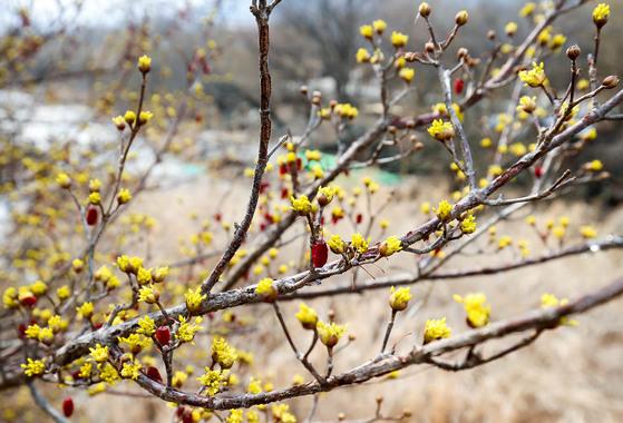 전남 구례군 산동면 반곡마을에 핀 산수유 꽃과 열매. 프리랜서 장정필