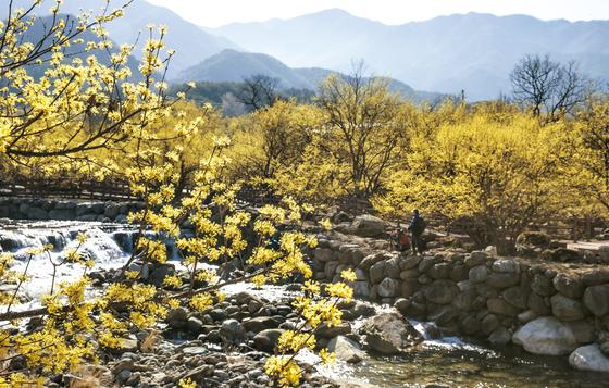 국내 최대의 산수유 산지인 전남 구례 산동면에서는 3월 17~25일 산수유꽃축제가 열린다. [중앙포토]