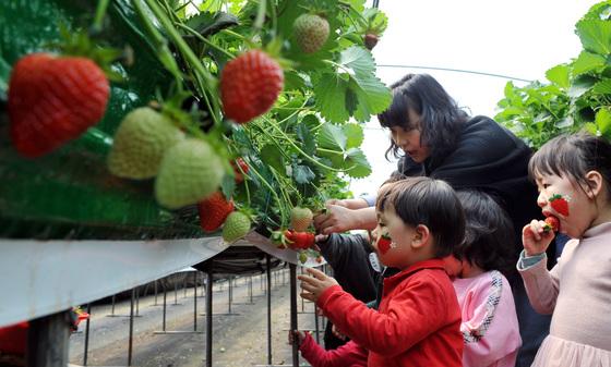 충남 논산에서는 4월 4~8일 딸기 축제가 열린다. 딸기 수확 체험이 목적이라면 축제 기간과 상관없이 논산의 딸기 농장을 방문해도 된다. [프리랜서 김성태]
