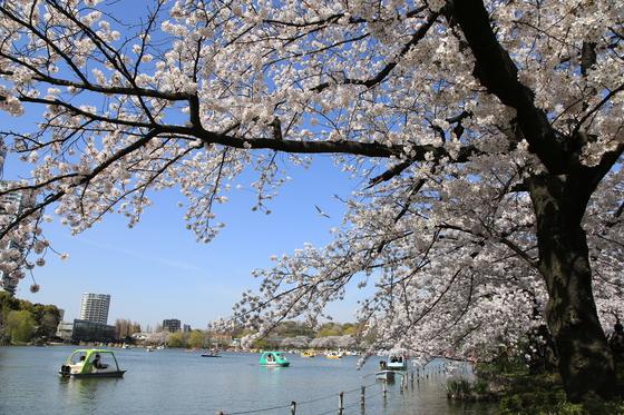 도쿄 우에노온시공원에 만개한 벚꽃. [사진 일본정부관광국]
