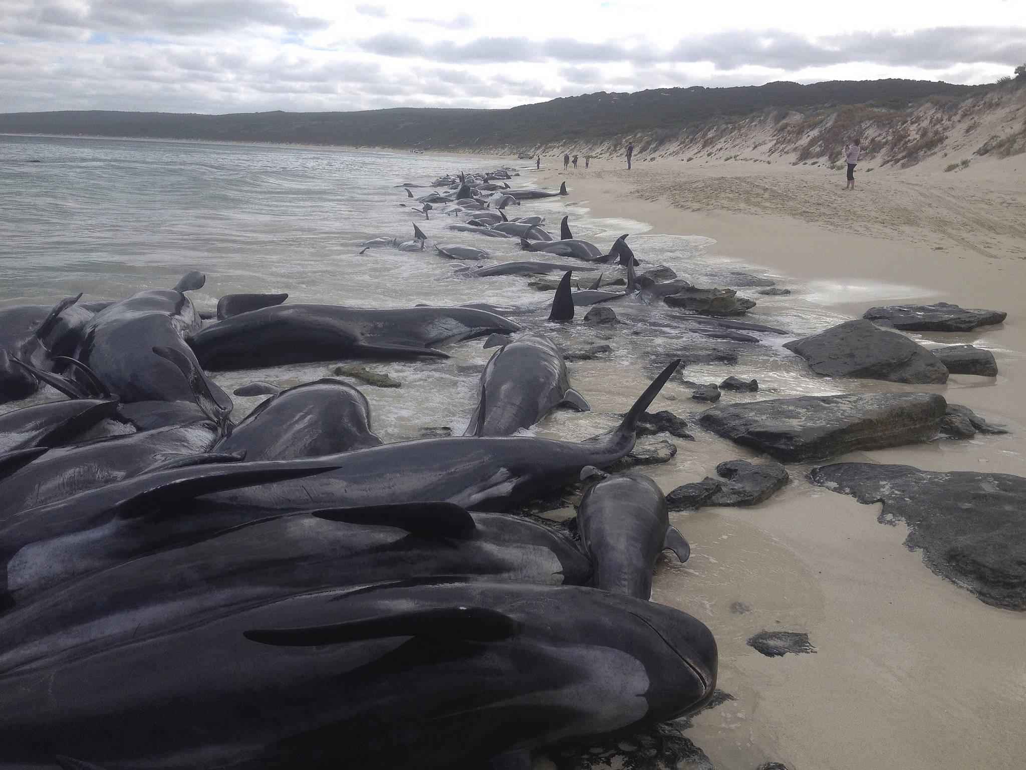 [서소문사진관]고래 150마리 호주 해안에서 집단 폐사?