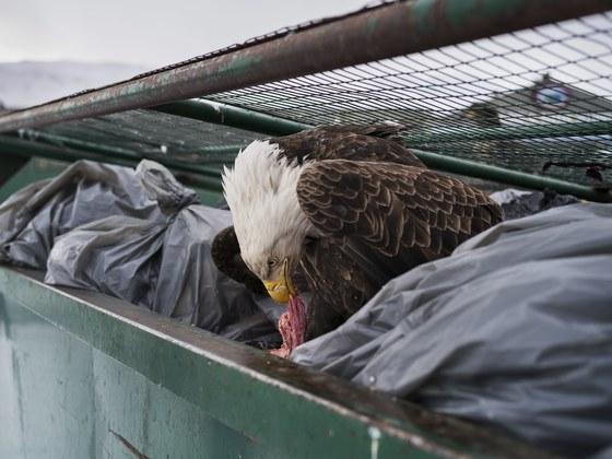 네이처 부문 1위 수상작인 '쓰레기 더미 속의 흰머리독수리'. 미국 알라스카의 한 항구 쓰레기통에서 흰머리독수리가 고기덩어리를 먹고 있다. 흰머리독수리(혹은 대머리독수리)는 미국의 국조로 각 공공기관의 상징물로 사용되고 있다.[EPA=연합뉴스]