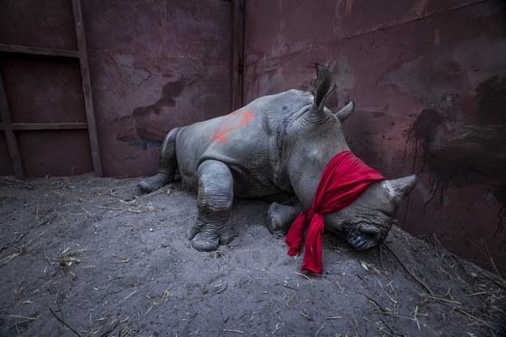 환경 부문 1위상 수상작. 작년 9월 아프리카 보츠나와의 한 보호지역에서 흰 코뿔소가 마취되어 있는 모습이다. 이 코뿔소는 밀렵꾼이 많은 남아프리카에서 이곳으로 옮겨졌다. 중국이나 베트남 등에서 약재로 쓰이는 흰 코뿔소의 뿔은 1kg 당 4천만원 가량에 불법거래된다.[연합뉴스]