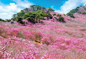 비슬산참꽃문화제가 열리는 대구 달성군 비슬산 자연휴양림 일원.
