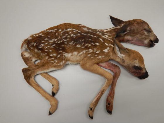 숲속에서 발견된 '샴쌍둥이' 새끼 사슴