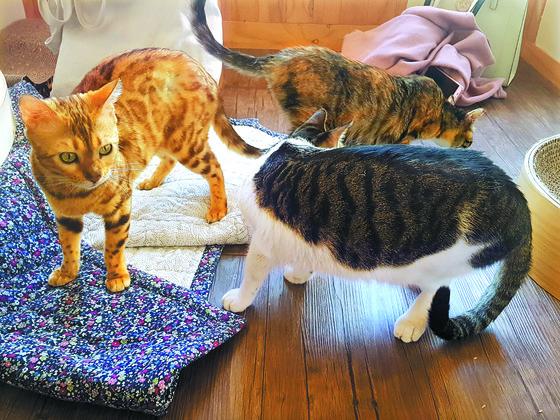 서울 대현동에 있는 고양이 입양카페 '지구별 고양이'에서 고양이들이 모여 놀고 있다. [김지아 기자]