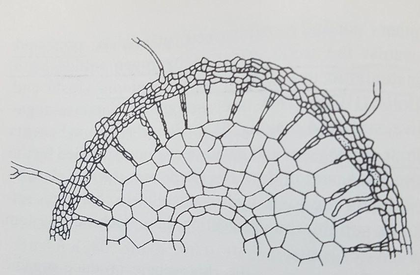 버섯과 나무 뿌리의 공생. 균사가 나무의 잔뿌리 세포 사이에 침투한 외생 균근이다. [중앙포토]